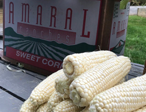 Shelby's Sweet Corn on the Cob